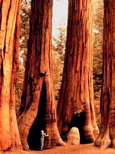 Giants, Sequoia National Park, California