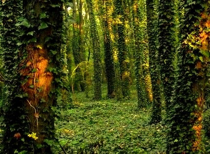 Ivy Forest, Tata, Hungary